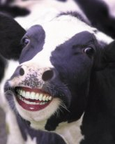 Funny-Cow-Smiling-With-Humans-Teeth
